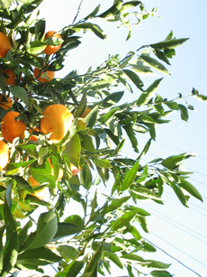 Our Satsuma Orange Tree